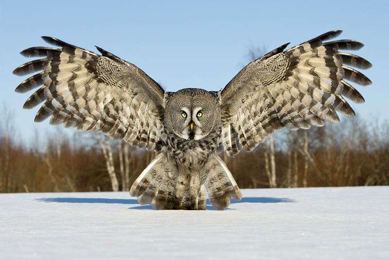 great-grey-owl-wings-spread[1]  